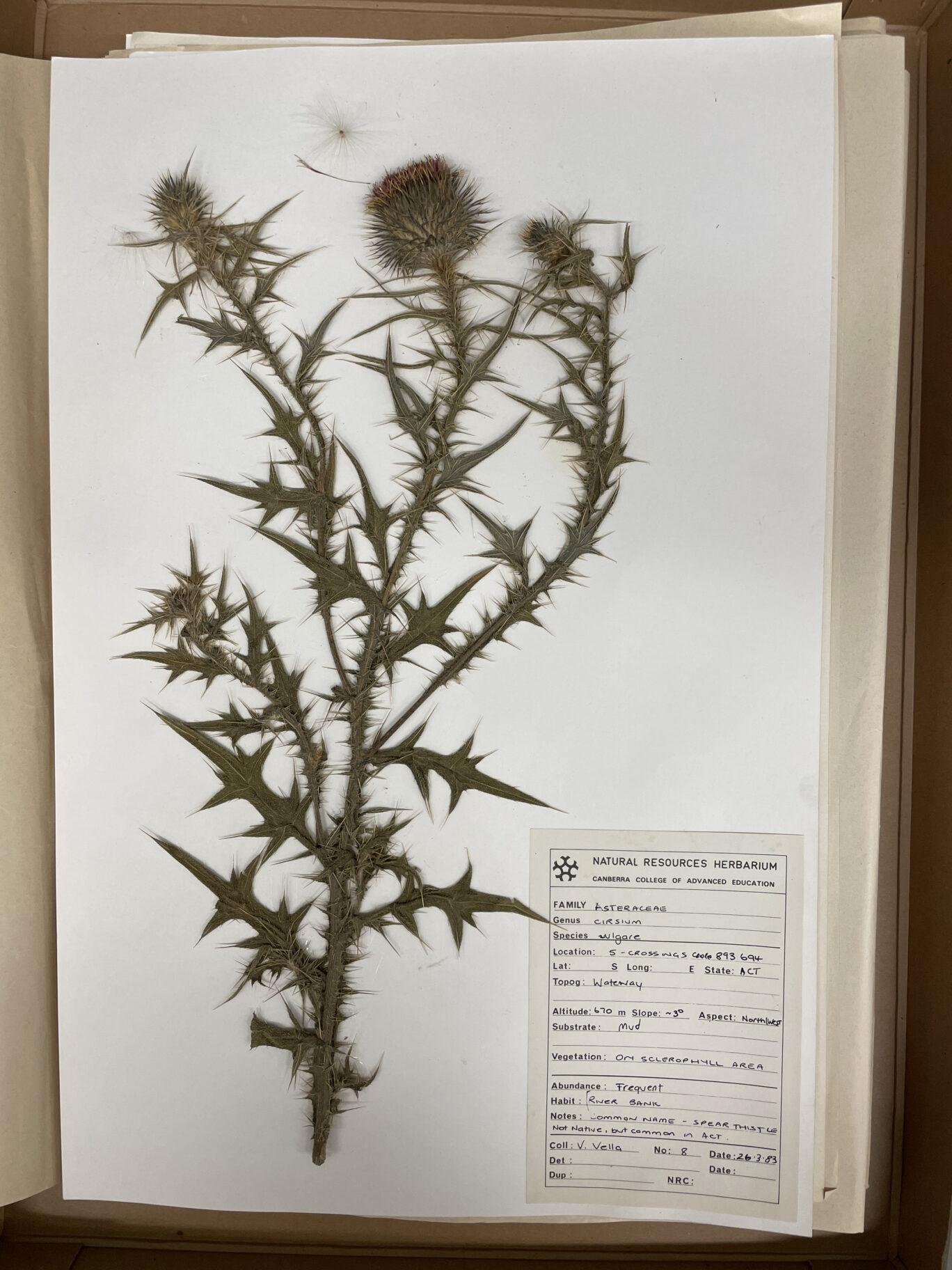 Asteraceae Cirsium Vulgare